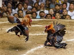 Dua Pelaku Menyerang Sabung Ayam di Banyu Wanga dan Mengamankan Perkantoran